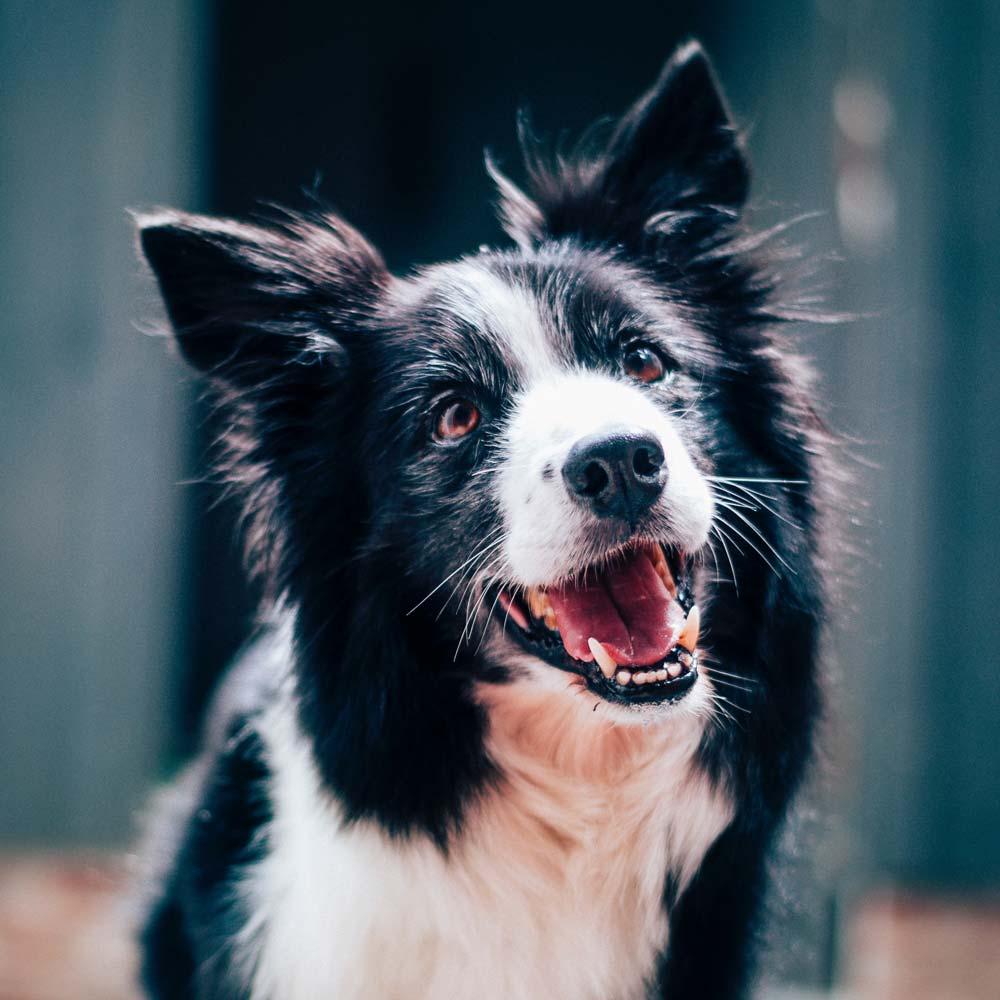 Dog Park Shepherd